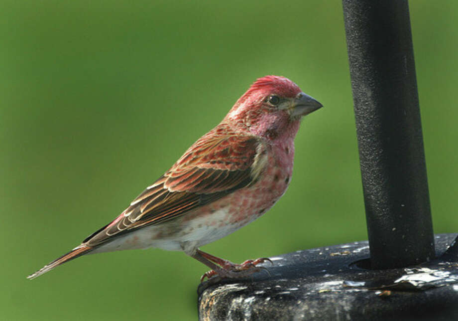 Photo by Chris BosakAbove, a male Purple Finch perches next to a birdfeeder this fall. Below is a female Purple Finch.