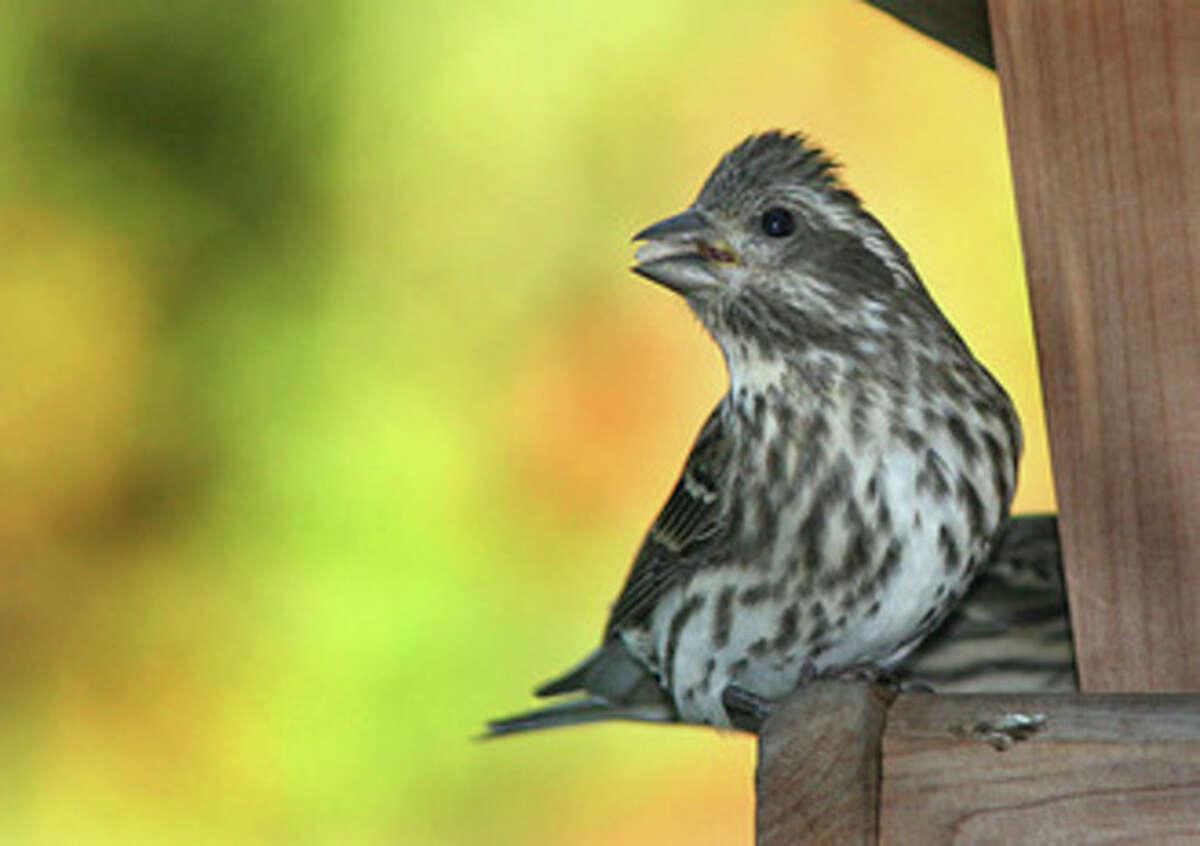 Photo by Chris Bosak Female Purple Finch.