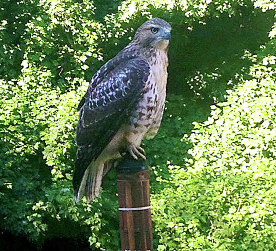 Photo by Kathleen Ireland This red-tailed hawk was seen and photographed by Kathleen Ireland in the Cranbury area of Norwalk.