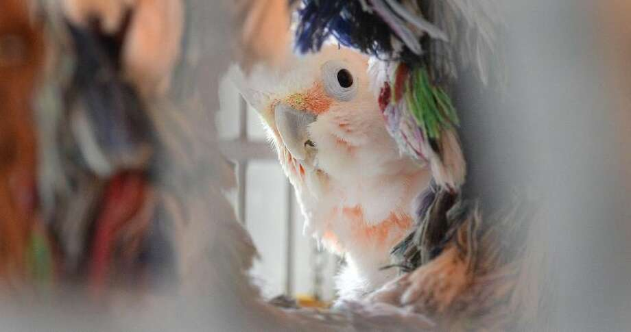Hour Photo/Alex von Kleydorff . A curious buy shy Goffins Cockatoo, Skylar, peeks from behind a fabric hoop in his cage at Wilton Parrot Rescue