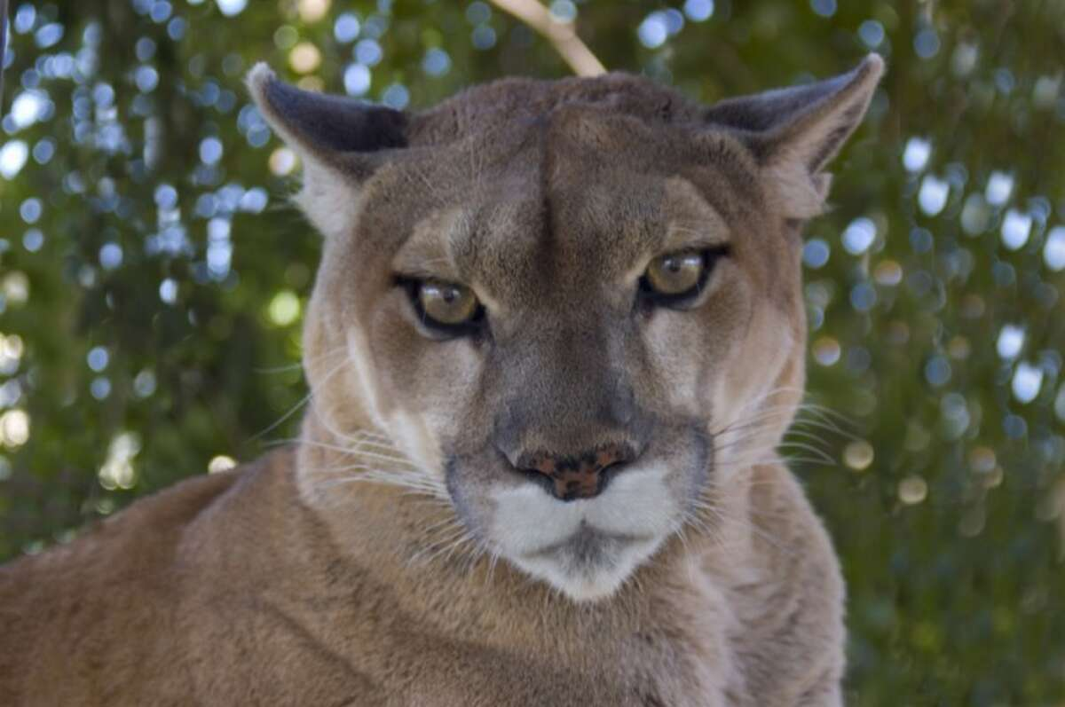Do cougars live in Connecticut?