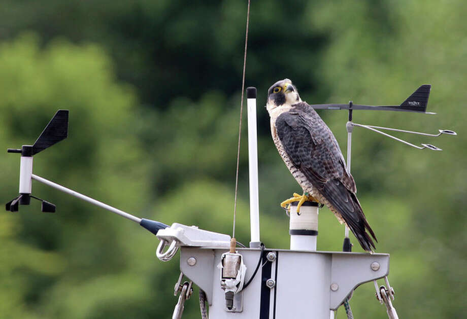 Photo by Chris BosakA Peregrine Falcon sits atop the mast of a sailboat in Norwalk, CT, Sunday, Aug. 11, 2013.