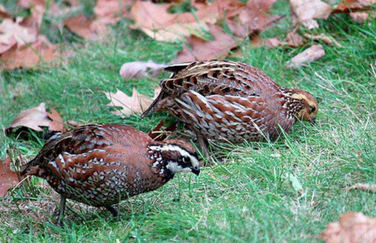Photo courtesy of Lisa Tusveld A pair of Northern Bobwhite look for seeds in a yard in Alstead, N.H., last week.