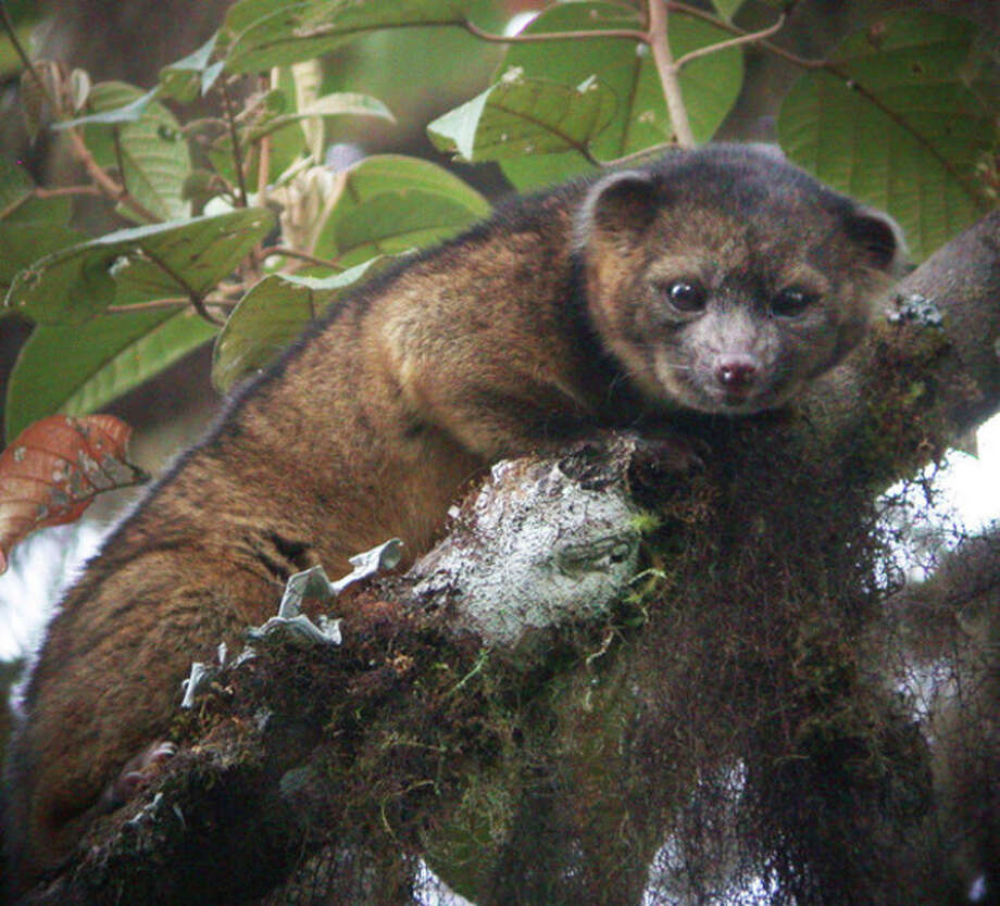 AP Photo/Mark GurneyThis undated handout photo provided by Mark Gurney shows a olinguito. Imagine a raccoon with a teddy bear face that is so cute it's hard to resist, let alone overlook. / Mark Gurney