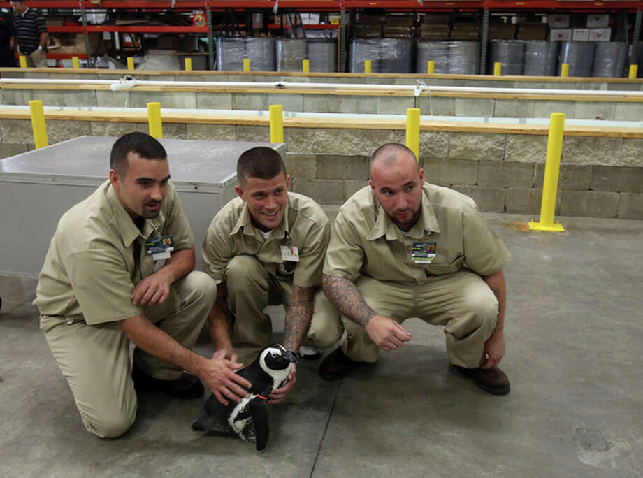 Southeastern Correctional Institution Inmates John Kirkbride, left, , Zach Landman, center, and Jerrod Daniels pose with a penguin from the Columbus Zoo and Aquarium . The Columbus Zoo and Aquarium was at the prison for a ceremony introducing the hatchery there on Wednesday Aug.14, 2013. The fish from the hatchery will be used to feed polar bears and other Columbus Zoo and Aquarium animals. (Columbus Dispatch photo by Tom Dodge) / The Columbus Dispatch