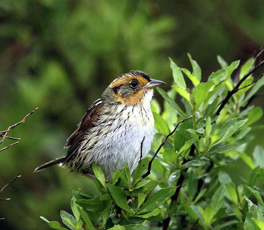 Contributed photoWith climate change, the saltmarsh sparrow could be an endangered species.
