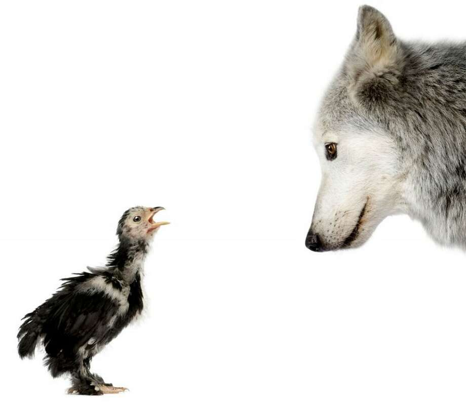 Mackenzie Valley Wolf looking at a chick against white background