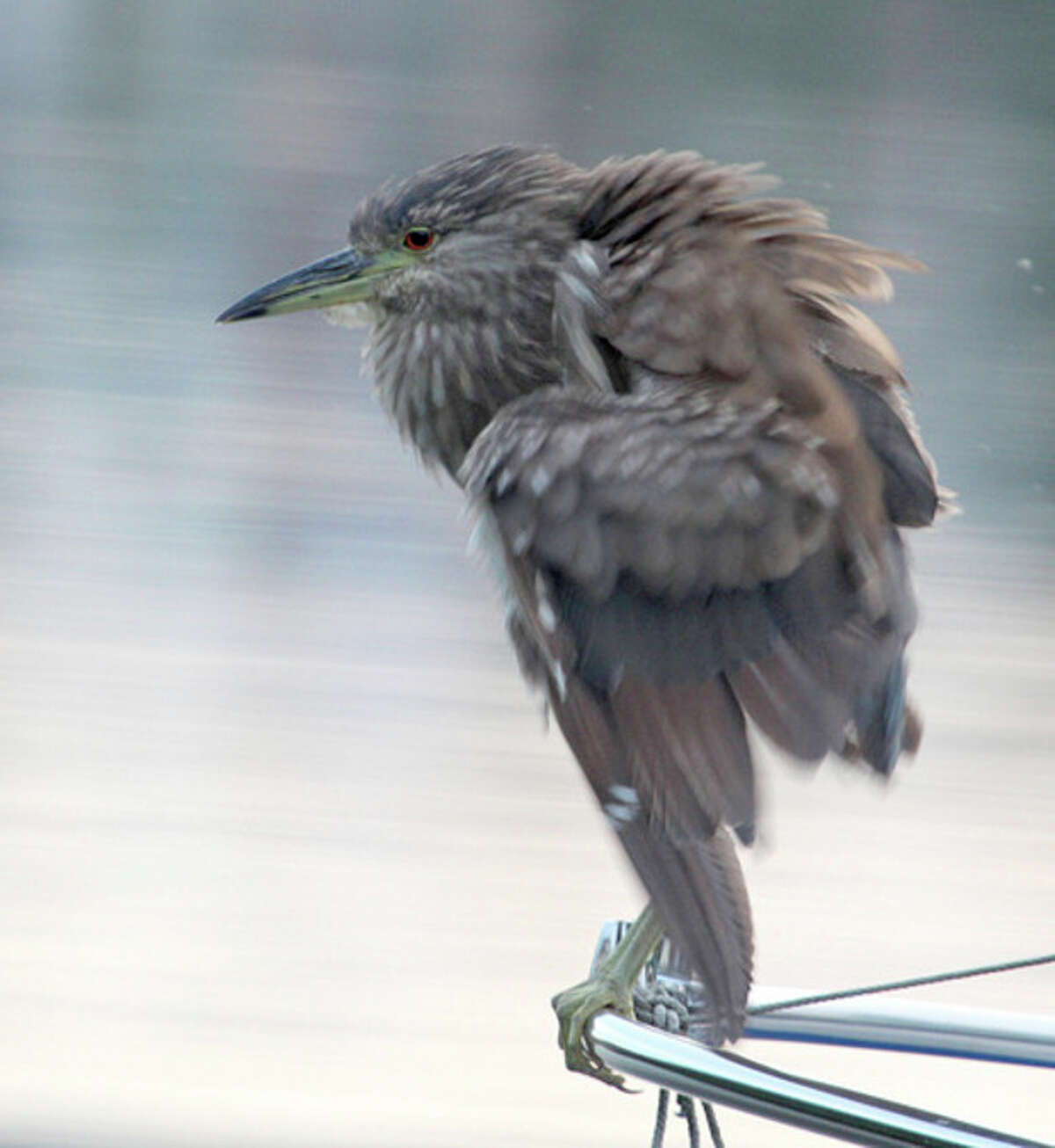 Photo by Chris Bosak A Black-crowned Night Heron sits on the railing of a boat along the Norwalk River this summer.