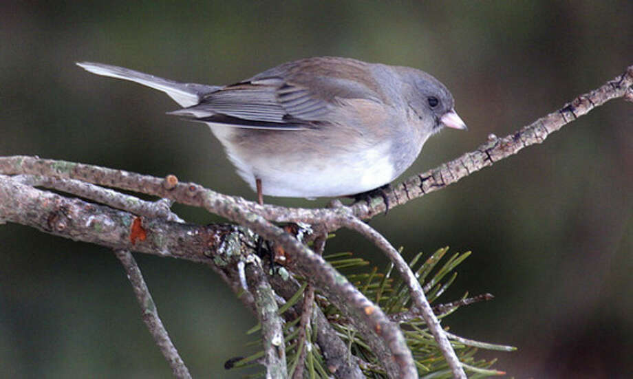 Photo by Chris BosakA female Dark-eyed Junco moves about an evergreen tree. Juncos were plentiful during a hike in New Hampshire last week.
