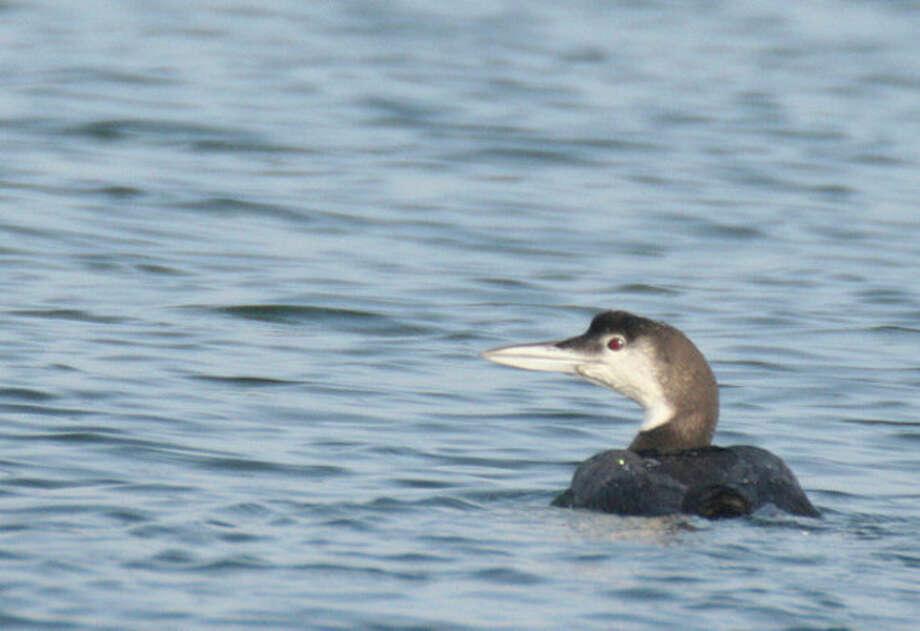 Hour photo / Chris BosakA Common Loon seen on Long Island Sound off the coast of Norwalk on Tuesday.