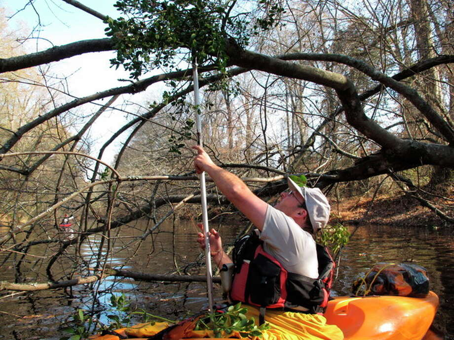 Seventh-grade science teacher Lucas Conkle tries to hook a sprig of mistletoe from his kayak on the Upper Little River near Lillington, N.C., on Saturday, Dec. 1, 2012. He was one of about a dozen people taking part in the 30th annual Sprig Outing, which started as a fundraising event for local conservationists. (AP Photo/Allen Breed) / AP