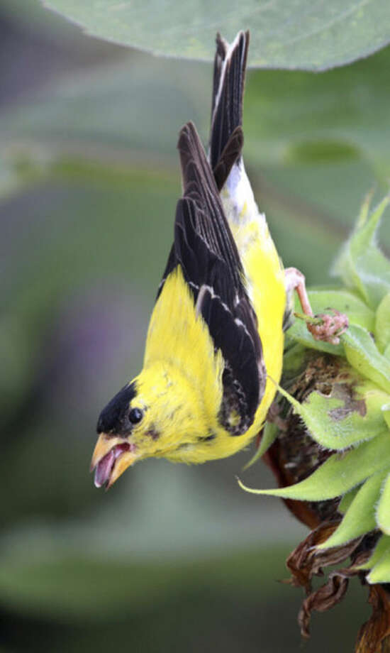 Photo by Chris BosakAn American Goldfinch picks a sunflower seed from the head of a sunflower.