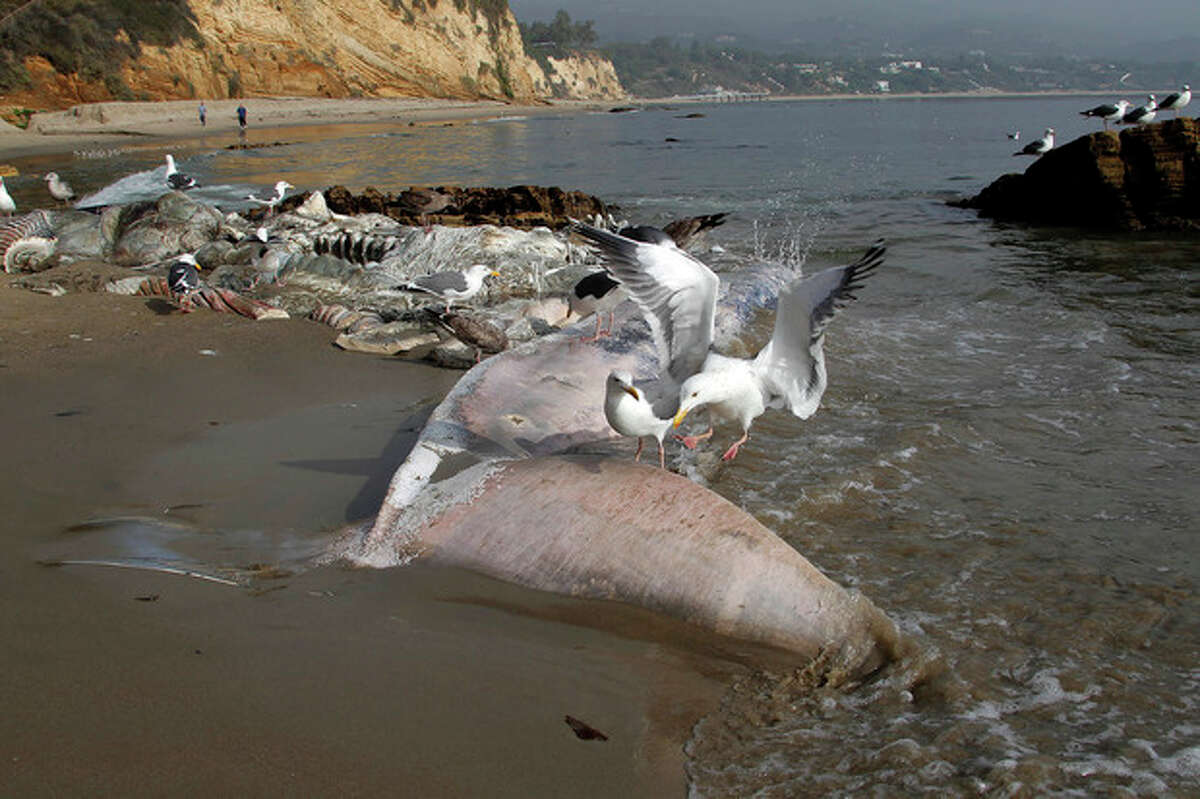 Sea birds pick at the carcass of a young male fin whale that washed up Monday between the Paradise Cove and Point Dume areas of Malibu, Calif. on Thursday, Dec. 6, 2012. The rotting carcass near celebrity homes is causing a gigantic cleanup problem as authorities try to decide who's responsible for getting rid of it. Los Angeles County lifeguards planned to try to pull the 40,000-pound carcass out to sea, perhaps at high tide Thursday, said Cindy Reyes, executive director of the California Wildlife Center.( AP Photo/Nick Ut)