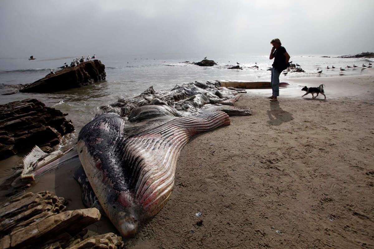 A woman walks her dog past a dead young male fin whale that washed up Monday between the Paradise Cove and Point Dume areas of Malibu, Calif. on Thursday, Dec. 6, 2012. The rotting carcass near celebrity homes is causing a gigantic cleanup problem as authorities try to decide who's responsible for getting rid of it. Los Angeles County lifeguards planned to try to pull the 40,000-pound carcass out to sea, perhaps at high tide Thursday, said Cindy Reyes, executive director of the California Wildlife Center.( AP Photo/Nick Ut)