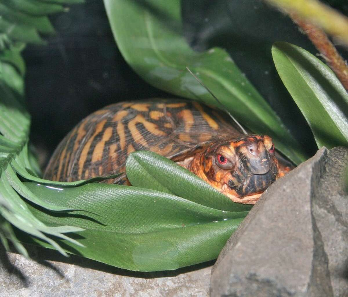 After the world doesn't end on Dec. 21, come out of your hiding place (like this box turtle) and bring the kids for free to The Maritime Aquarium at Norwalk. On Sat., Dec. 22, the Aquarium's special