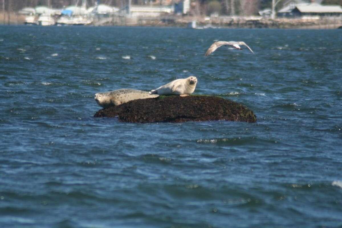 Photo courtesy of Maritime Aquarium Seals on Long island Sound.