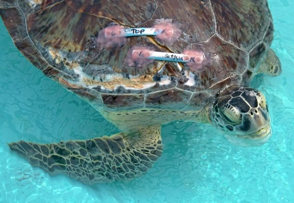 In this photo provided by the Florida Keys News Bureau, Elena, an endangered green sea turtle, rests in a recovery tank at the Turtle Hospital Thursday, Sept. 12, 2013, in Marathon, Fla. On Wednesday, Sept. 11, Florida Keys dentist Fred Troxel utilized a denture repair adhesive to bond two metal orthopedic plates across a 10-inch split on the turtle?'s carapace. The turtle has been convalescing at the hospital for a month since it was recovered from a Key West, Fla., beach. Hospital officials say the turtle was likely inadvertently struck by a boat. (AP Photo/Florida Keys News Bureau, Andy Newman)