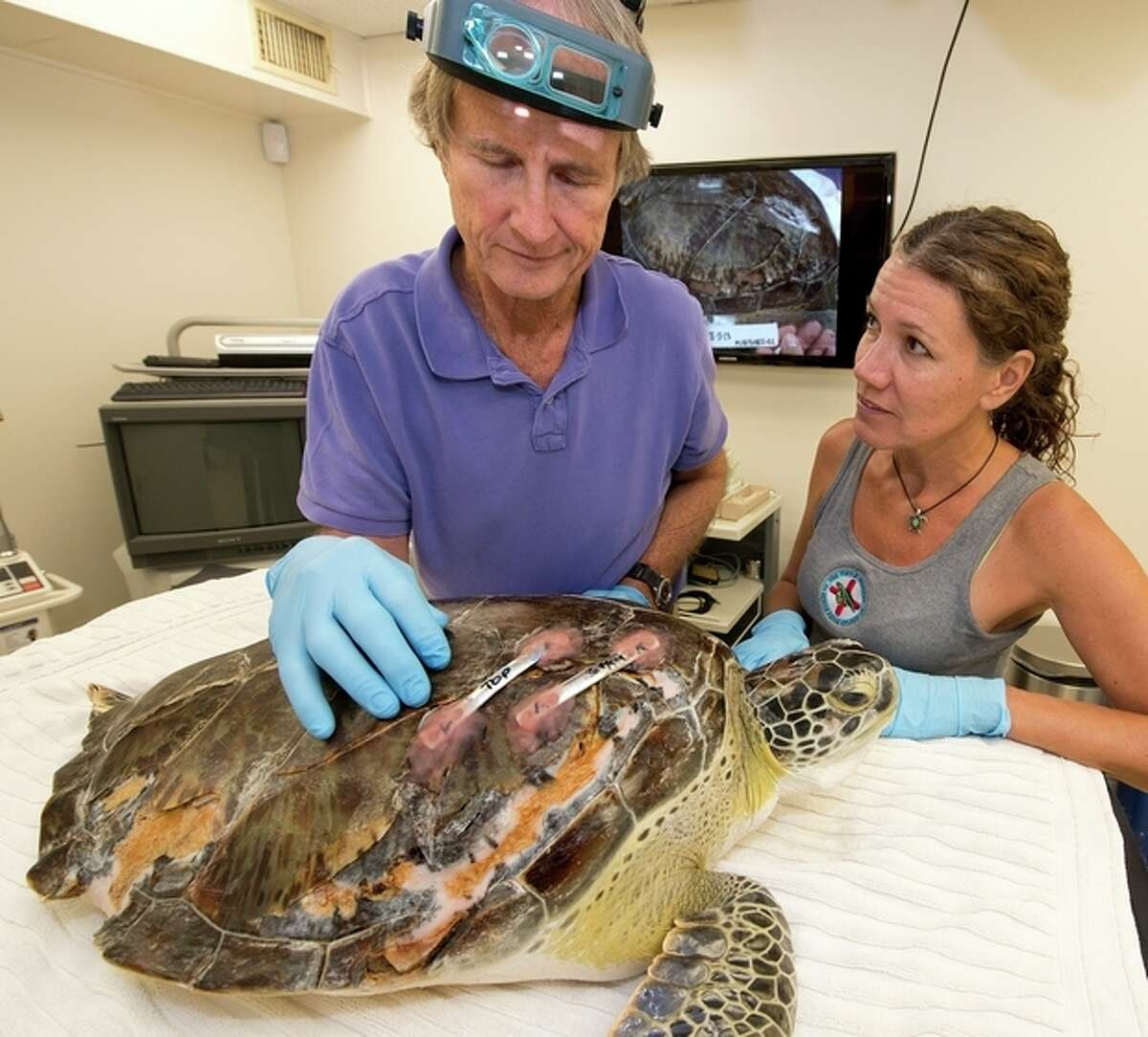 In this photo provided by the Florida Keys News Bureau, Florida Keys dentist Fred Troxel, left, examines repairs he made to the fractured shell of Elena, an endangered green sea turtle, at the Turtle Hospital Thursday, Sept. 12, 2013, in Marathon, Fla. At right is Bette Zirkelbach, the hospital's manager. On Wednesday, Sept. 11, Troxel utilized a denture repair adhesive to bond two metal orthopedic plates across a 10-inch split on the turtle?'s carapace. (AP Photo/Florida Keys News Bureau, Andy Newman)