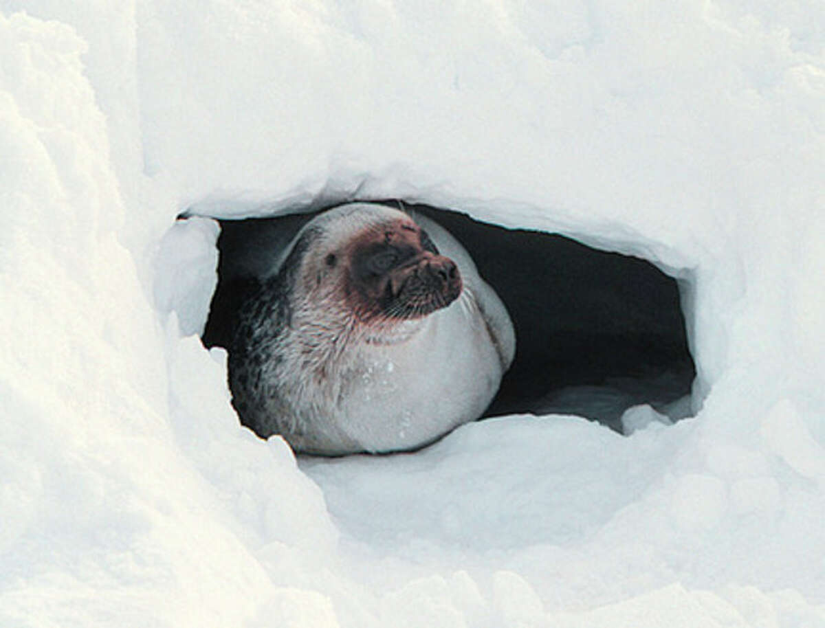 FILE - In this April 30, 2001 file photo provided by Brendan P. Kelly, a ringed seal looks out of a snow cave on the ice off of Barrow, Alaska. Ringed seals, the main prey of polar bears, and bearded seals in the Arctic Ocean will be listed as threatened under the Endangered Species Act, the National Oceanic and Atmospheric Administration announced, Friday, Dec. 21, 2012. (AP Photo/Brendan P. Kelly, File)