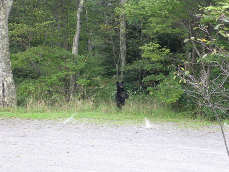 Photo by Rob McWilliamsA black bear at Sam's Point parking area in the Gunks.