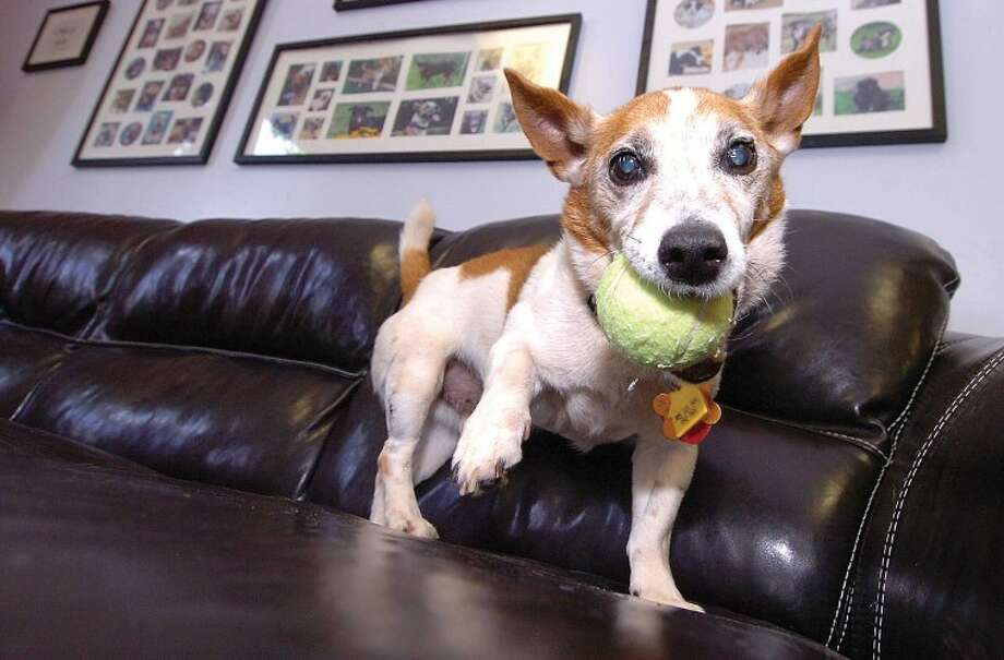 Hour Photo/ Alex von Kleydorff. 10 yr old Spud a Corgi Jack Russel mix was picked up as a stray and is now at Paws.