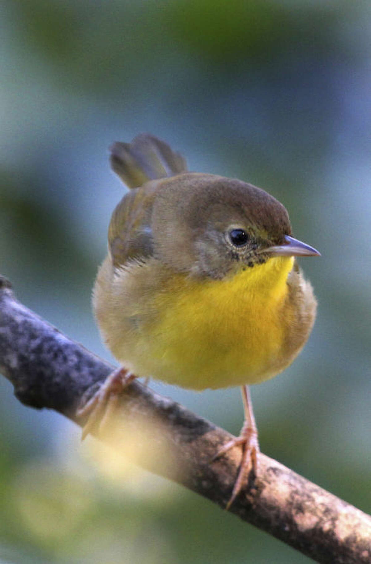 Photo by Chris Bosak Common Yellowthroat in southern New England, Sept. 24, 2013.