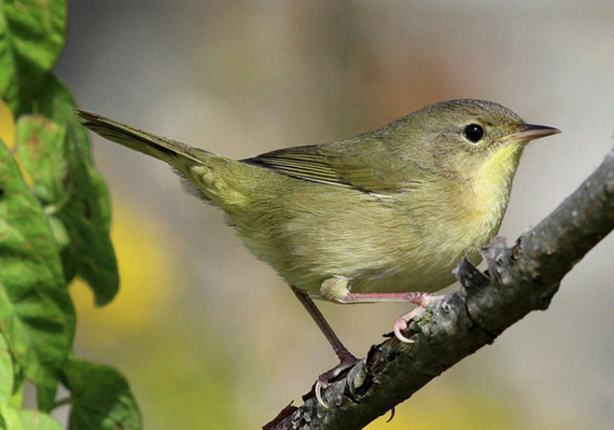 Photo by Chris Bosak A female Common Yellowthroat lurks at Taylor Farm in Norwalk on Wednesday.