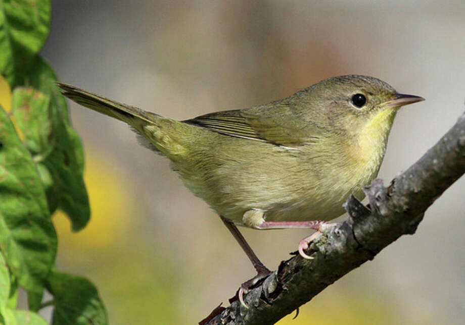 Photo by Chris BosakA female Common Yellowthroat lurks at Taylor Farm in Norwalk on Wednesday.