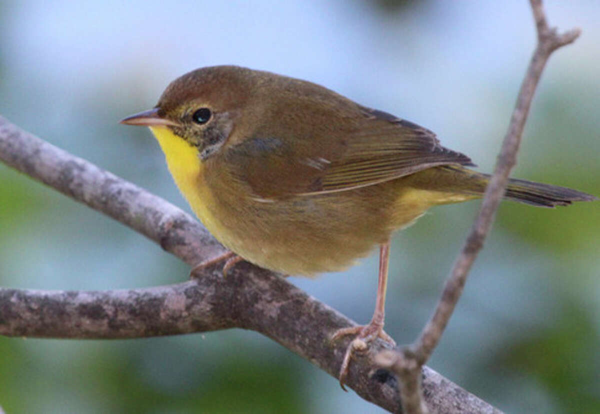 Photo by Chris Bosak A Common Yellowthroat perches on a branch in Norwalk this week. (September 24, 2013)