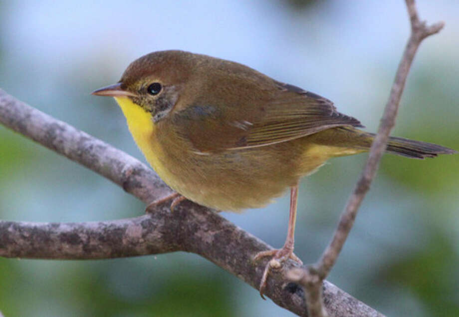 Photo by Chris BosakA Common Yellowthroat perches on a branch in Norwalk this week. (September 24, 2013)