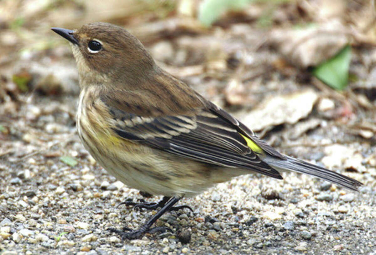 Photo by Chris Bosak A Yellow-Rumped Warbler looks for seeds on the ground in the fall in New England.