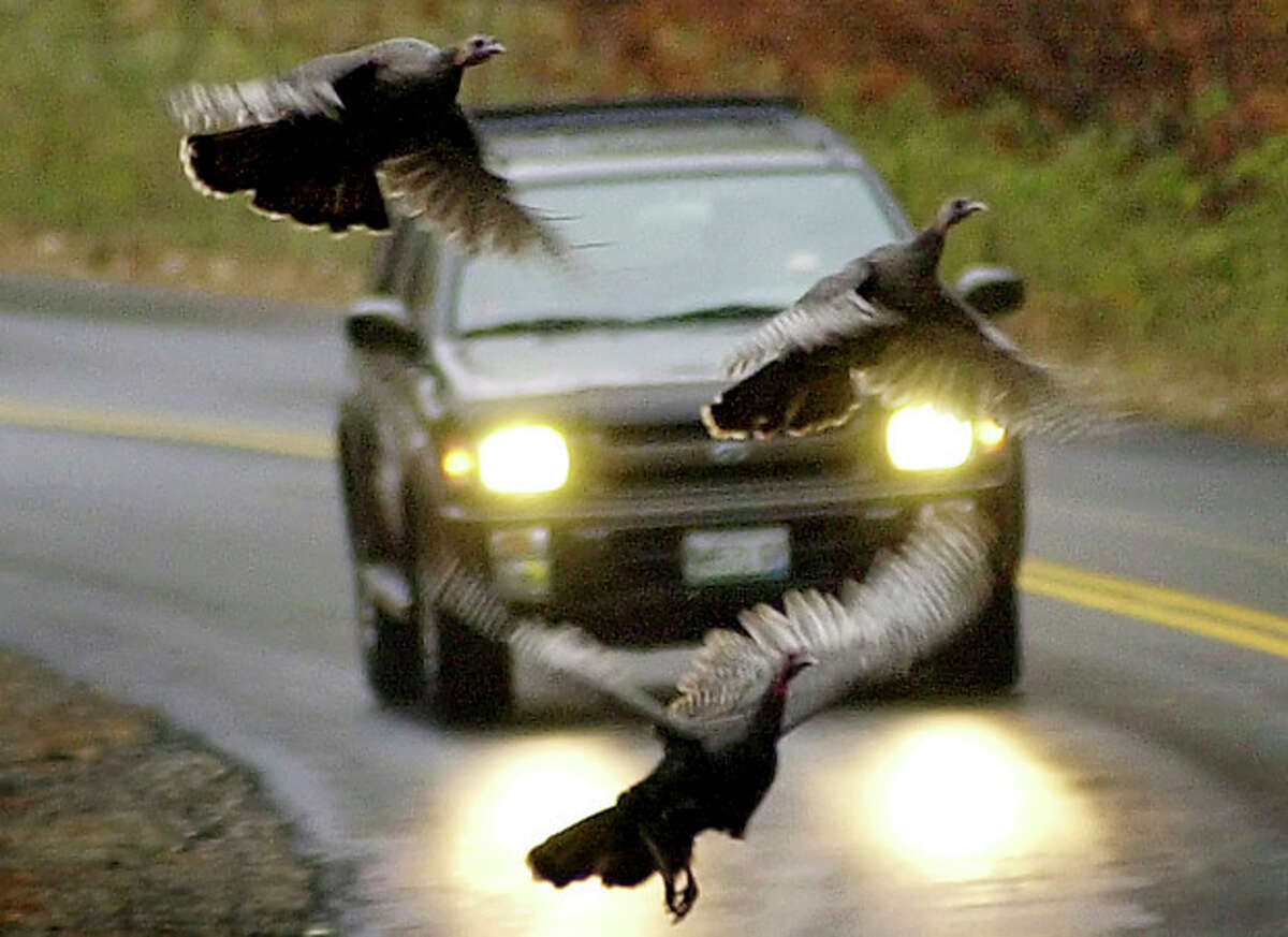FILE - In this Nov. 4, 2002, file photo, a trio of turkeys takes to the air to avoid an oncoming motorist in Freeport, Maine. The state's wild turkey population has grown to unprecedented levels since restoration efforts began in the 1990s, creating a bounty for bird hunters, but a nuisance for farmers, apple growers and gardeners. (AP Photo/Robert F. Bukaty, File)