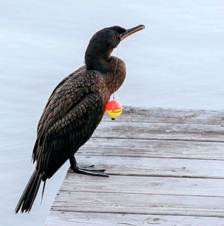 Contributed photoA double-crested cormorant struggles with fishing line stuck in its bill.