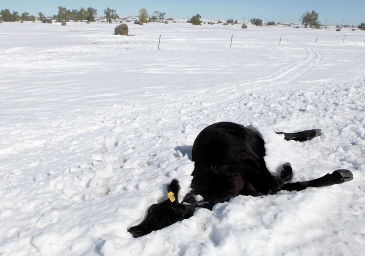 FILE - In this Monday, Oct. 7, 2013, file photo, a dead cow lies in the snow along Highway 34 east of Sturgis, S.D., another casualty of the early October blizzard. Western South Dakota ranchers are reeling from the loss of tens of thousands of cattle in last weekend?'s blizzard as pits to dispose of the dead animals are set to open Monday, Oct. 14, 2013. (AP Photo/Rapid City Journal, Kristina Barker, File)