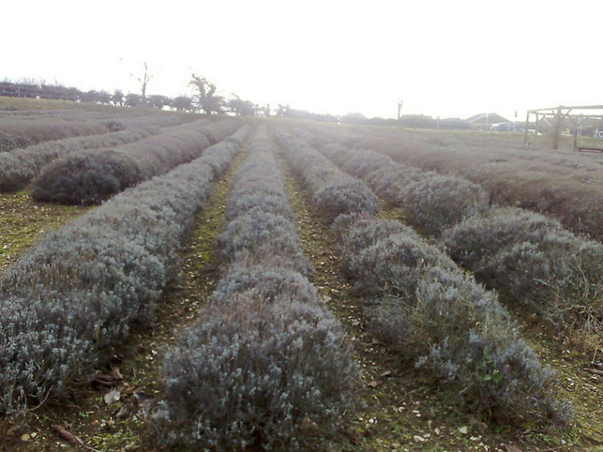 Mary Hillary Ê Some wonder whether our fascination with essential oils is so good for the planet, given that it can take hundreds if not thousands of pounds of plant material to make just one pound of an oil. Pictured: A lavender field at the Norfolk Lavender farm and nursery and distillery in Heacham, Norfolk, England.
