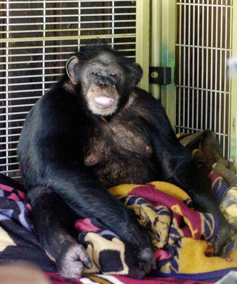 FILE - In this Oct. 20, 2003 photo, Travis, a 10-year-old chimpanzee, sits in the corner of his playroom at the home of Sandy and Jerome Herold in Stamford, Conn. Sandy Herold, whose chimpanzee mauled and blinded her friend last year, died Monday, May 24, 2010, of a ruptured aortic aneurysm, lawyer Robert Golger said. (AP Photo/The Stamford Advocate, Kathleen O''Rourke, File) MANDATORY CREDIT; ONLINE OK