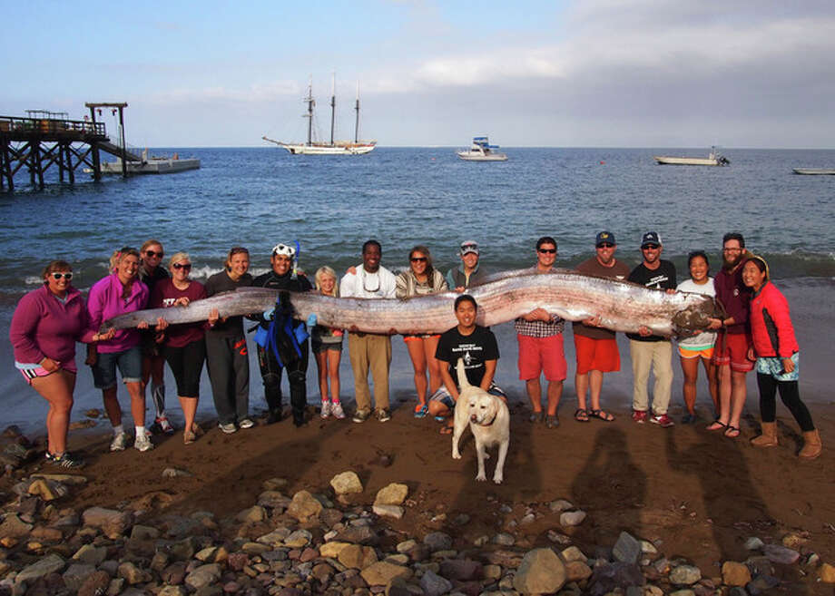 This photo released courtesy of the Catalina Island Marine Institute taken on Sunday Oct. 13, 2013 shows the crew of sailing school vessel Tole Mour and Catalina Island Marine Institute instructors holding an 18-foot-long oarfish that was found in the waters of Toyon Bay on Santa Catalina Island, Calif. A marine science instructor snorkeling off the Southern California coast spotted the silvery carcass of the 18-foot-long, serpent-like oarfish. (AP Photo/Catalina Island Marine Institute ) / Catalina Island Marine Institute