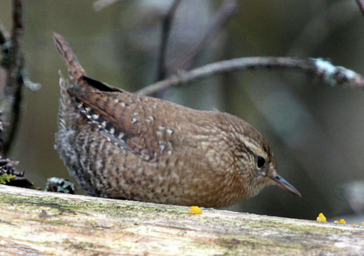 Photo by Chris Bosak Winter Wren on a log in northern New England this fall.