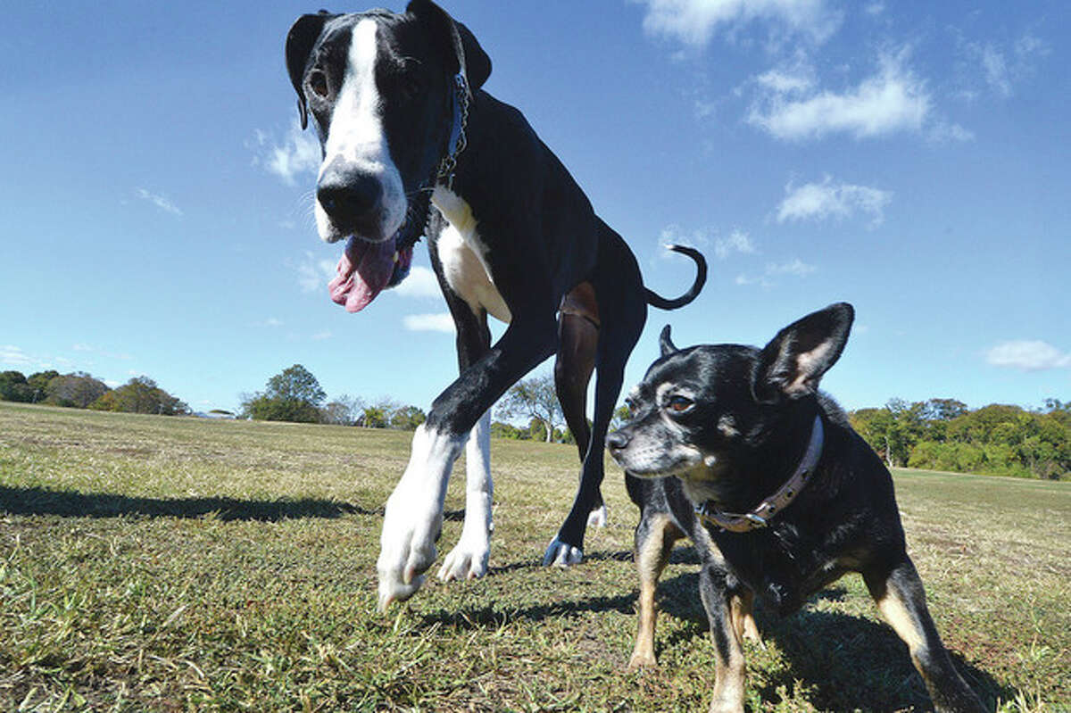 Hour Photo/Alex von Kleydorff Rye a 3yr old Gret Dane and Twinkle a rescue Chihuahua take a walk at Taylor farm with their owner