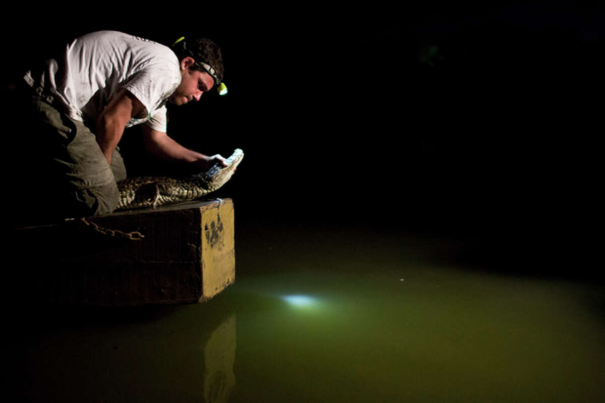 In this Oct. 14, 2013 photo, ecology professor Ricardo Freitas releases a broad-snouted caiman after examining it, at the Marapendi Lagoon in Rio de Janeiro, Brazil. Some 5,000 to 6,000 broad-snouted caimans live in fetid lagoon systems of western Rio de Janeiro, conservationists say, and there?'s a chance that spectators and athletes at the 2016 Olympics could have an encounter with one, though experts hasten to add that the caimans, smaller and less aggressive than alligators or crocodiles, are not considered a threat to humans. (AP Photo/Felipe Dana)
