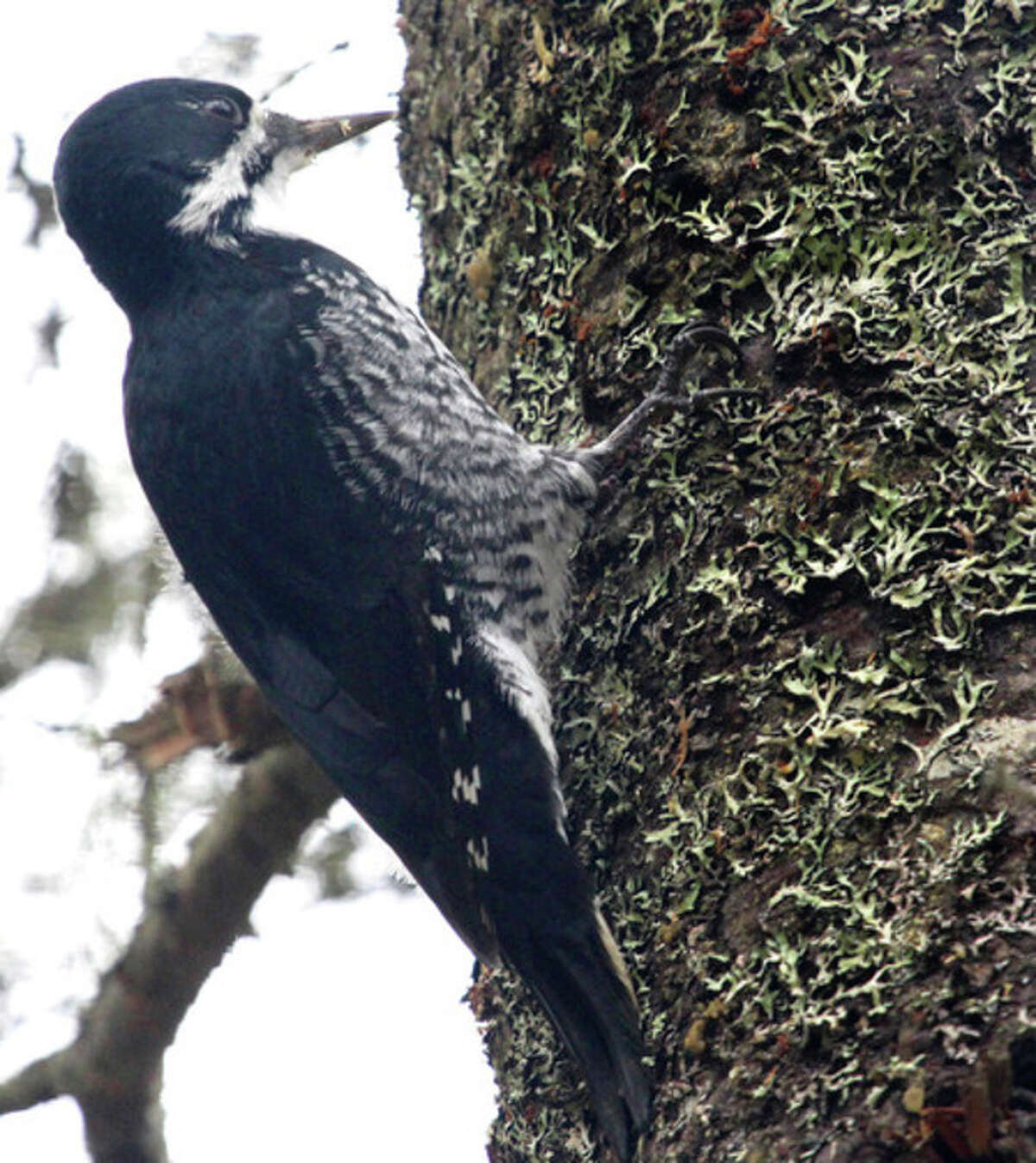 Photo by Chris Bosak Black-backed Woodpecker in northern New Hampshire.