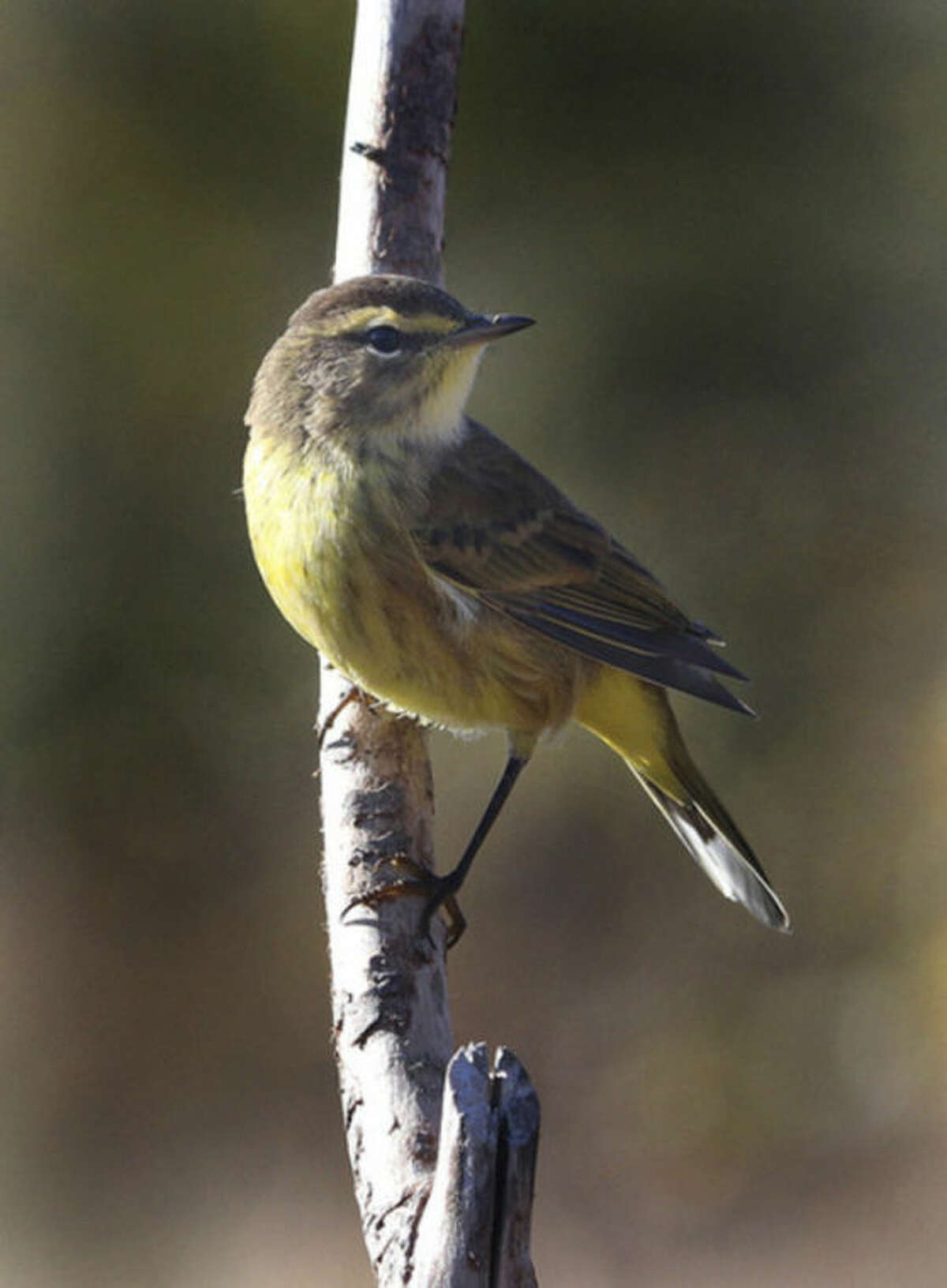 Photo by Chris Bosak Palm Warbler in Stamford, late Oct. 2013.