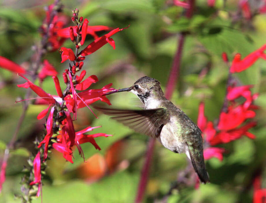 Photo by Chris BosakA black-chinned hummingbird visits a pineapple sage bush at a Fairfield residence on Monday morning. It is believed to be the first black-chinned hummingbird ever recorded in Connecticut.