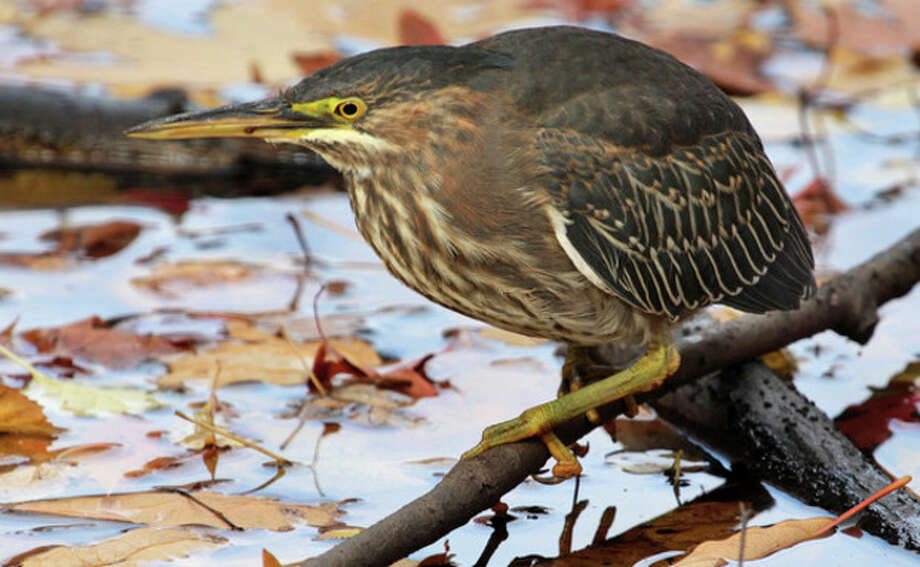 Photo by Chris BosakGreen Heron in Darien, Conn., Nov. 2013.