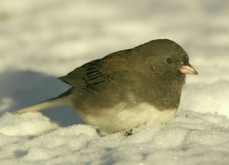 Photo by Chris BosakDark-eyed Junco searches through the snow in Fairfield County.