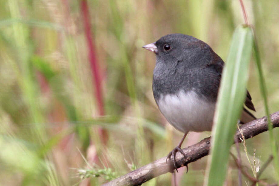 Photo by Chris BosakA Dark-eyed Junco takes a perch at Selleck's/Dunlap Woods this fall.