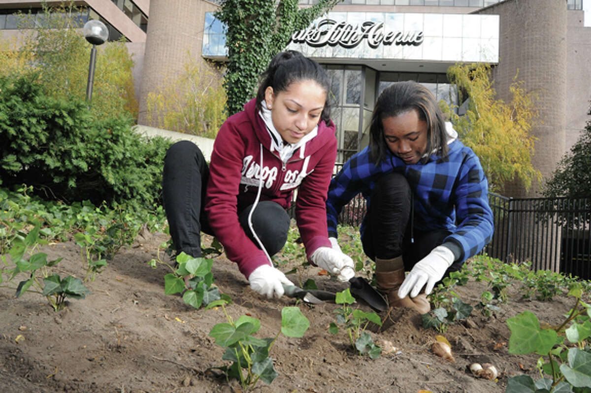 Isabel Moscoso and Dabhca Jean-Fleura on Monday at Veterans Park in Stamford planting bulbs, the group FUTURE and it's volunteers planted 2,000 daffodils on the southeast hillside of the park.photo/Matthew Vinci