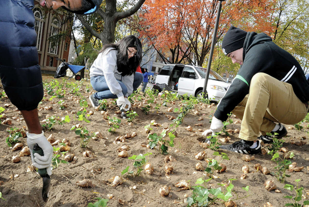 Daniela Diaz and Kevin Ascuna Monday at Veterans Park in Stamford. The group FUTURE and it's volunteers planted 2,000 daffodils on the southeast hillside of the park. photo/Matthew Vinci