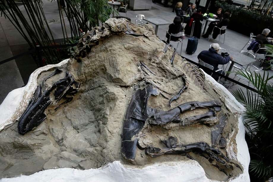 In this Thursday, Nov. 14, 2013 photo, a nanotyrannus lancensis fossil is displayed in New York. Two fossilized dinosaur skeletons found on a Montana ranch in 2006 are coming up for sale in New York City. The nearly complete skeletons are billed as the Montana Dueling Dinosaurs. (AP Photo/Seth Wenig) / AP