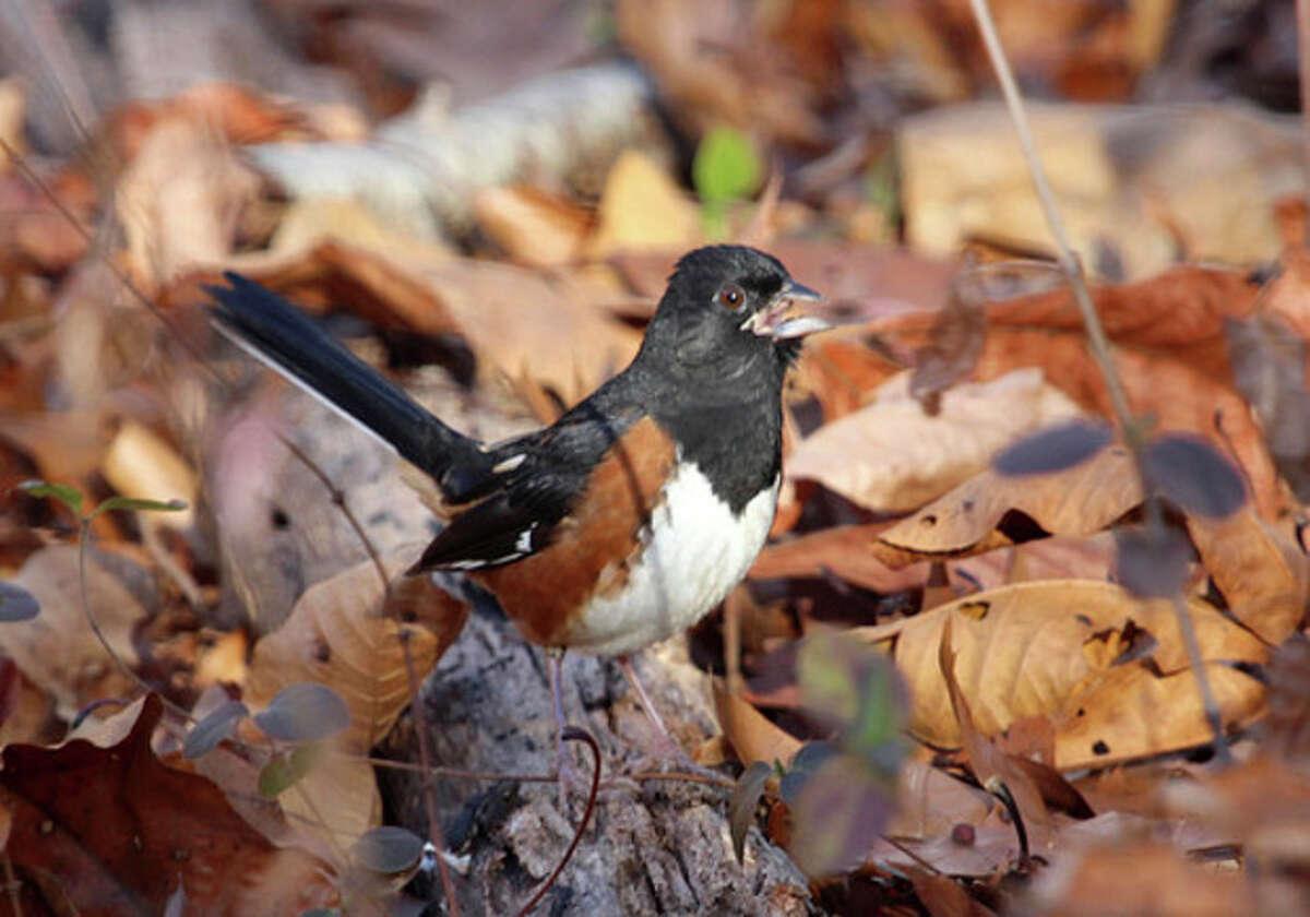 Photo by Chris Bosak An Eastern Towhee at Selleck's/Dunlap Woods in Darien, Nov. 2013.
